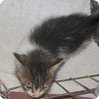 Adopt A Pet :: Tristan - Dallas, TX