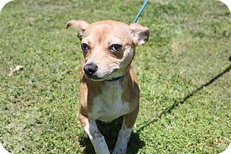 Chihuahua Mix Dog for adoption in Conway, Arkansas - Baloo