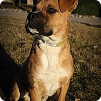 Adopt A Pet :: Figgy SnoozyBubbles - Broomfield, CO