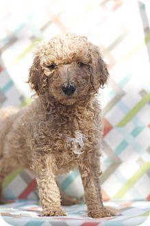 Labradoodle Mix Puppy for adoption in Auburn, California - Red Reggie