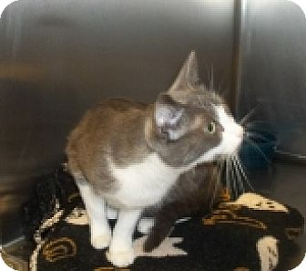 Domestic Shorthair Cat for adoption in Silver City, New Mexico - Belzoni