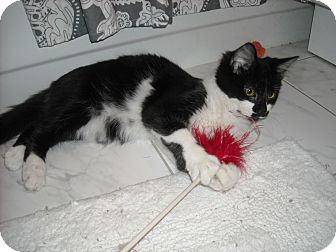 Domestic Mediumhair Cat for adoption in Arlington, Virginia - Duke- Lover Boy!