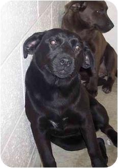 Labrador Retriever Mix Puppy for adoption in Osceola, Arkansas - Tracy