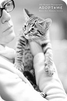 Domestic Shorthair Kitten for adoption in Edwardsville, Illinois - Avatar