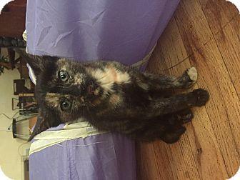 American Shorthair Kitten for adoption in New York, New York - Natalya