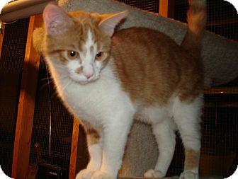 Domestic Shorthair Cat for adoption in Overland Park, Kansas - Kristoff