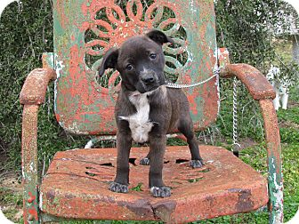 Australian Cattle Dog/Terrier (Unknown Type, Small) Mix Puppy for adoption in Bedminster, New Jersey - AVERY