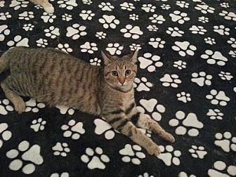 Domestic Shorthair Cat for adoption in Tunica, Mississippi - Renesme