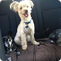 Adopt A Pet :: Cookie - Burbank, CA