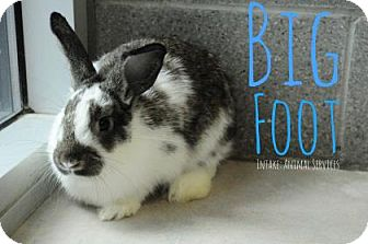 Lop, English Mix for adoption in Hamilton, Ontario - Big Foot