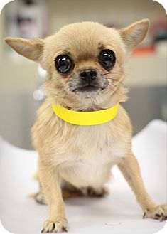 Chihuahua Mix Dog for adoption in College Station, Texas - Curry (2.7 pounds)