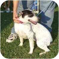 Australian Cattle Dog/Blue Heeler Mix Dog for adoption in Salem, New Hampshire - Angel