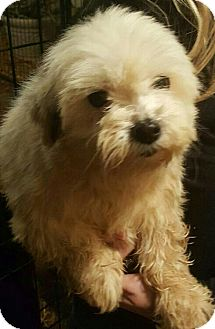 Shih Tzu Mix Dog for adoption in Russellville, Kentucky - Bella