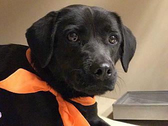 Labrador Retriever Mix Dog for adoption in Snyder, Texas - Trix