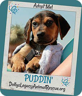 Beagle Mix Puppy for adoption in Lincoln, Nebraska - PUDDIN'