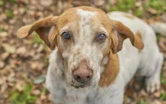 Coonhound Mix Dog for adoption in Ravenel, South Carolina - Oscar