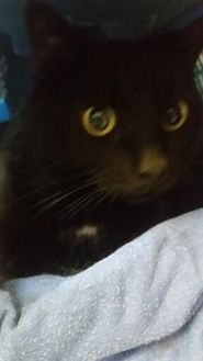Domestic Shorthair/Domestic Shorthair Mix Cat for adoption in West Olive, Michigan - Molly (Chow Hound Grand Haven)