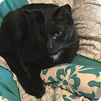 Adopt A Pet :: BearCP - Carlisle, PA