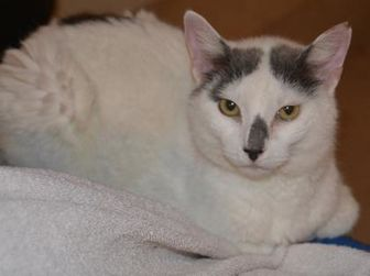 Domestic Shorthair/Domestic Shorthair Mix Cat for adoption in Brunswick, Maine - Wendy