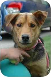 Shepherd (Unknown Type) Mix Dog for adoption in Walker, Michigan - Max
