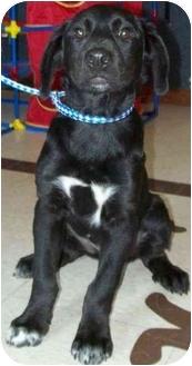 Labrador Retriever Mix Puppy for adoption in North Judson, Indiana - Freddie