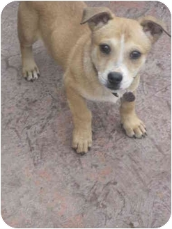 Shepherd (Unknown Type)/Shiba Inu Mix Puppy for adoption in Harbor City, California - boojoe