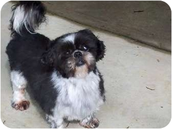 Shih Tzu Dog for adoption in Spring Valley, New York - Misty and Amigo(TIA)