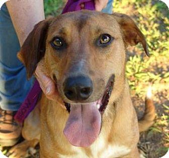 Mountain Cur/Australian Shepherd Mix Dog for adoption in Washington, D.C. - Luke