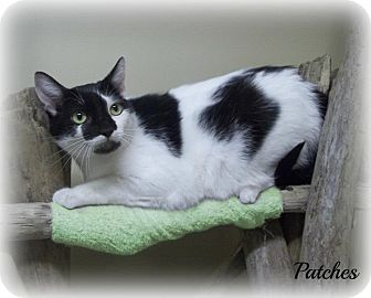 Domestic Shorthair Cat for adoption in Cannelton, Indiana - Patches