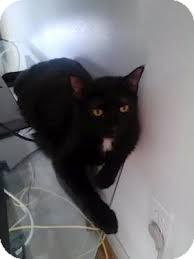 Domestic Shorthair Cat for adoption in Lancaster, Massachusetts - Jessica