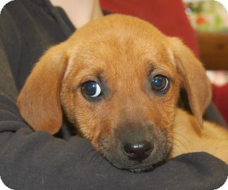 Hound (Unknown Type) Mix Puppy for adoption in Brooklyn, New York - Kali