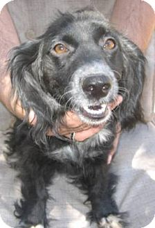 Cocker Spaniel/Dachshund Mix Dog for adoption in Chandler, Arizona - Sweet Pea