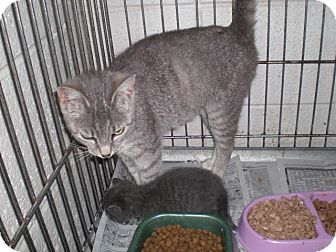 Domestic Shorthair Cat for adoption in Henderson, North Carolina - Mia her 6 babies and an orphan