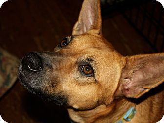 Terrier (Unknown Type, Medium)/Shepherd (Unknown Type) Mix Dog for adoption in Homewood, Alabama - Coffee