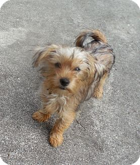 Yorkie, Yorkshire Terrier/Poodle (Toy or Tea Cup) Mix Puppy for adoption in Ormond Beach, Florida - Ozzy