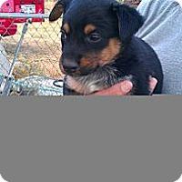 Adopt A Pet :: Shooter - Conway, AR