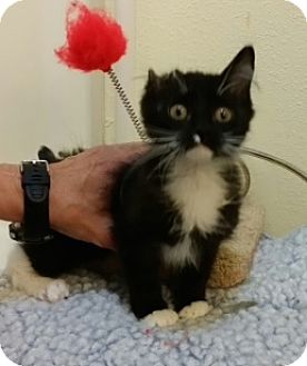 Domestic Mediumhair Kitten for adoption in Novato, California - Atticus