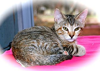 Domestic Shorthair Kitten for adoption in Franklin, Indiana - Athena