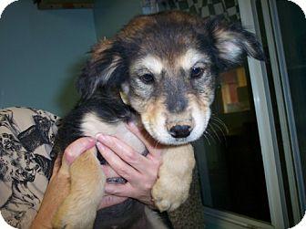Cattle Dog/Terrier (Unknown Type, Medium) Mix Puppy for adoption in Phoenix, Arizona - Brandi