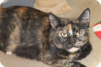 Domestic Shorthair Cat for adoption in Pittsburg, Kansas - Darling