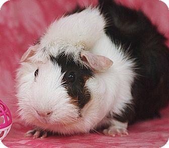 Guinea Pig for adoption in Santa Barbara, California - Lola