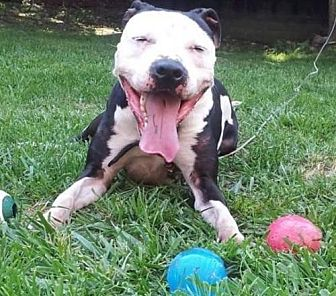 Pit Bull Terrier Mix Dog for adoption in Va Beach, Virginia - Petey