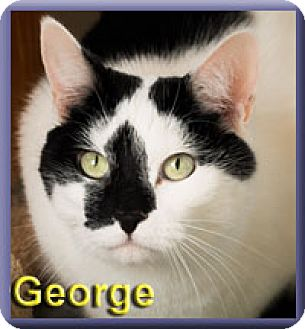 Domestic Shorthair Cat for adoption in Aldie, Virginia - George
