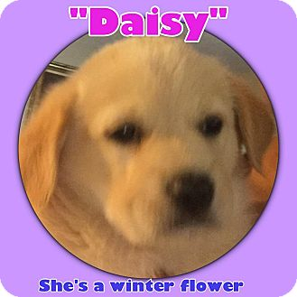 Labrador Retriever/Great Pyrenees Mix Puppy for adoption in Olive Branch, Mississippi - Stump Pup-Daisy