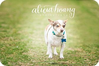 Rat Terrier/Chihuahua Mix Dog for adoption in Arlington, Texas - Dilly