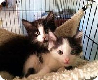 Maine Coon Kitten for adoption in Mission Viejo, California - Doc