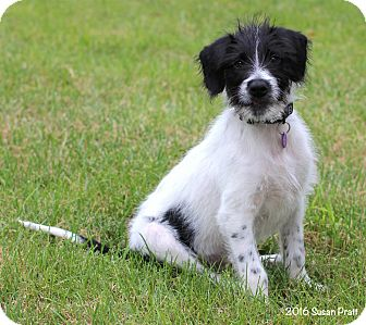 Terrier (Unknown Type, Medium)/English Setter Mix Puppy for adoption in Bedford, Virginia - Rupert
