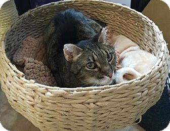 Domestic Shorthair Cat for adoption in West Des Moines, Iowa - Gary