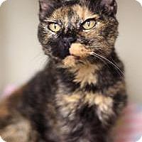 Domestic Shorthair Cat for adoption in Yukon, Oklahoma - Apricat