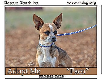 Chihuahua/Australian Cattle Dog Mix Dog for adoption in Yreka, California - Paco